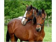 Two friesian horses - Dane and Lacca