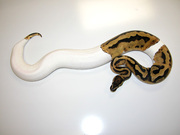 piebald pythons for sale