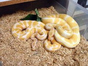 1.1 and 1.2 albino piebald pythons for adoption