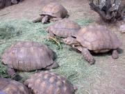 Very good pairs Sulcata,  Aldabara,  and Radiated tortoises available fo