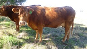 3 Pure Breed Limosine Cattle Unregistered