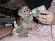 Quality Baby Capuchin Monkey For Adoption.