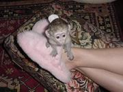 Adorable baby capuchin and marmoset monkeys ready for good homes