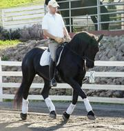 nice looking friesian mare for adoption