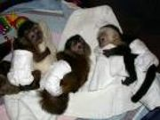 I Have Some Lovely Capuchin Monkeys For Sale