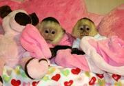 Male and Female capuchin monkeys ready for good