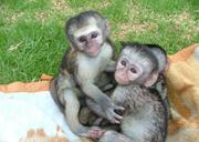 lovely capuchin baby monkey for adoption in australia
