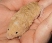 Baby Pet Mice (rex, brindle, longhaired, blaze, siamese, agouti, satin etc)