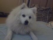 Japanese Spitz Free to Good Home